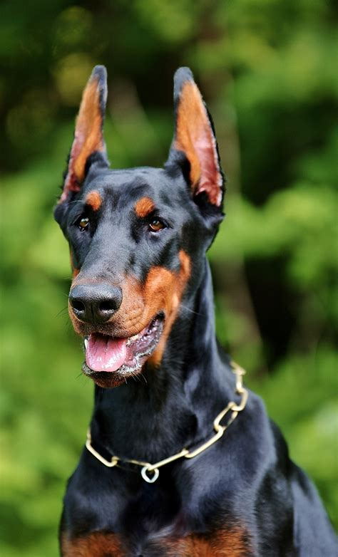 Humm3r Dobermann 15 doberman pinscher pictures and puppy photos