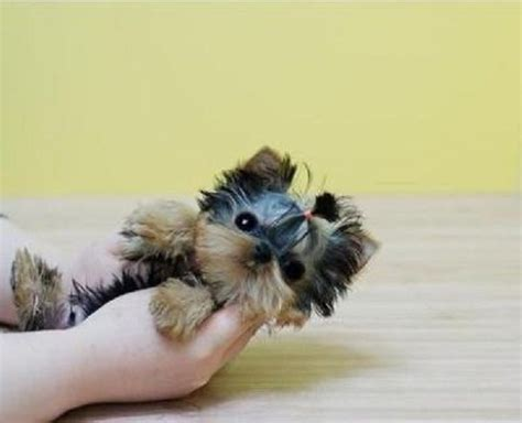 cheap yorkies for sale in pa 220 ber 1 000 ideen zu yorkie poo for sale auf brie honig und