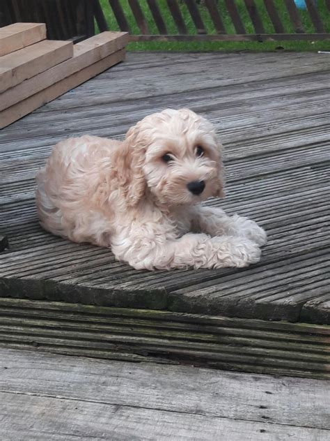 cockapoo puppy for sale cockapoo puppy for sale leicester leicestershire pets4homes