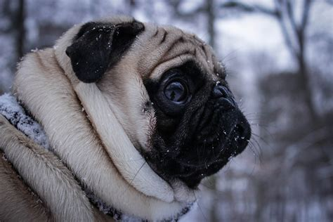 pug in pug puppy in the snow about pug