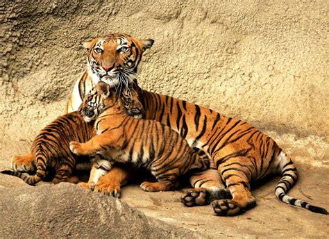 animal bengal tiger animal you bengal tiger