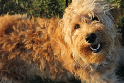 golden retriever poodle puppies poodle mix home types