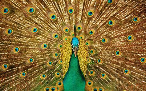 gold wallpaper with birds golden plumage peacock wallpaper wallpaper wallpaperlepi