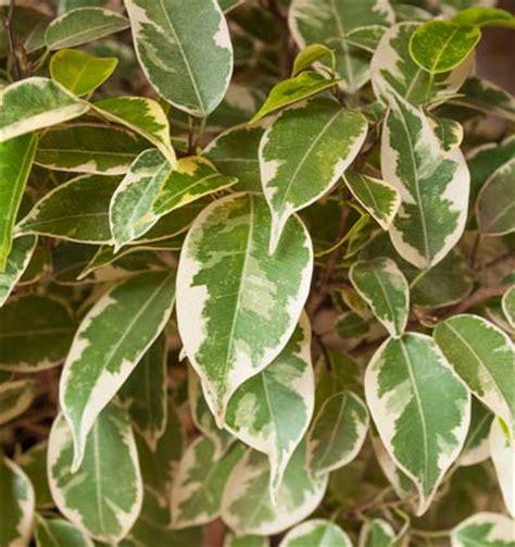 ficus planta interior 5 plantas de interior resistentes y muy f 225 ciles de cuidar