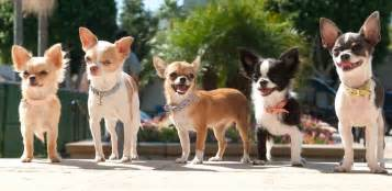 chihuahua decken the origin of the chihuahua not the pink el
