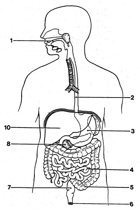 outline diagram outline diagram of the digestive system human anatomy