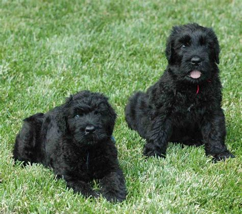 black russian terrier puppies category terrier on animal picture society