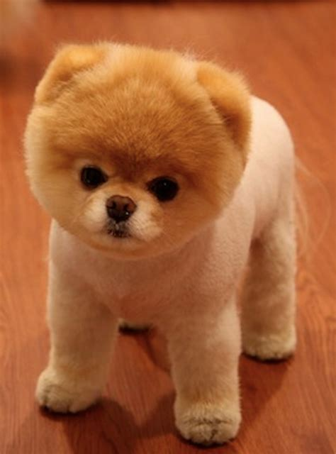 loulou pomeranian pomeranian breed history and some interesting facts