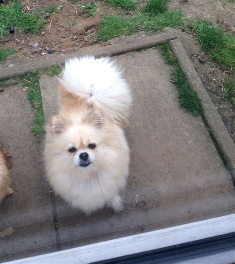 craigslist pomeranian pomeranian for sale pomeranian puppies available for