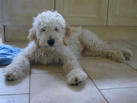 golden retriever poodle mix breeders goldendoodle golden retriever poodle mix