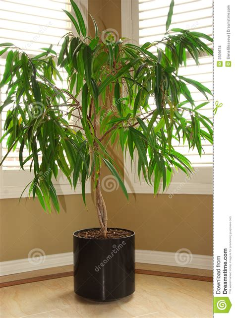plant home house plant stock photo image of leaves ficus estate