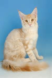gallery for gt cream tabby cat