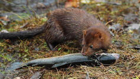 mink encounters life   finger lakes