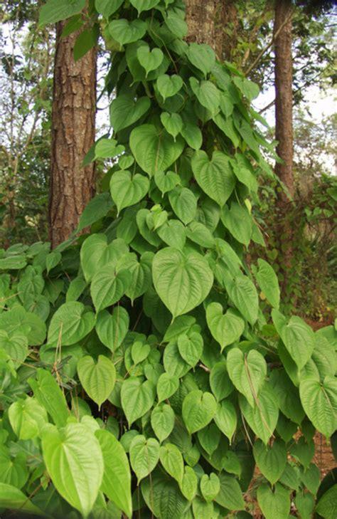 florida climbing plants potato vine
