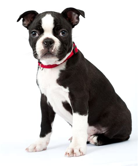 boston puppies mind blowing facts about the boston terrier chihuahua mix bo chi