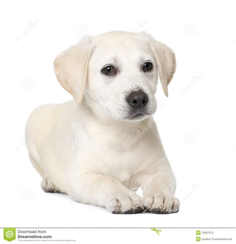 4 month puppy labrador puppy 4 month stock photography image 10047672