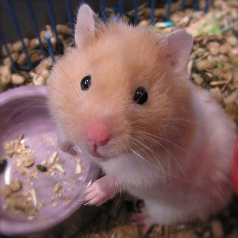 5 most popular types of pet hamsters your media