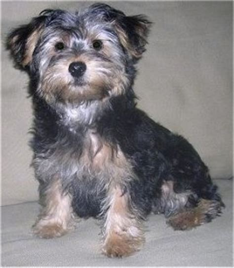 yorkie poo pictures grown yorkipoo breed pictures 3