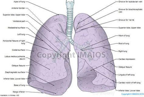 chest anatomy diagram chest anatomy illustrations