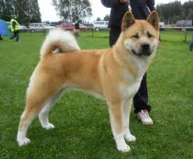 akita colors american akita puppies for sale and from breeders