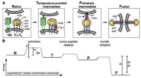 f protein paramyxovirus robert phd scd research abstract hhmi org