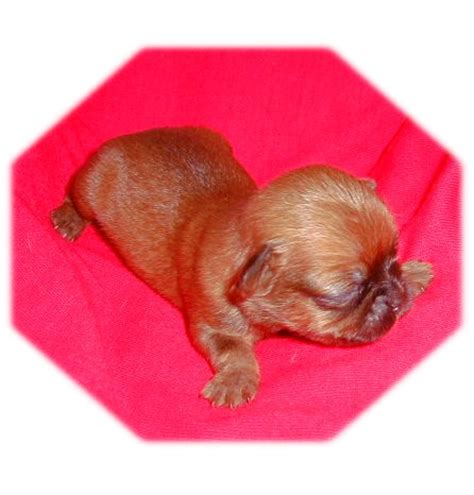 chug yorkie mix pug and yorkie mix breeds picture