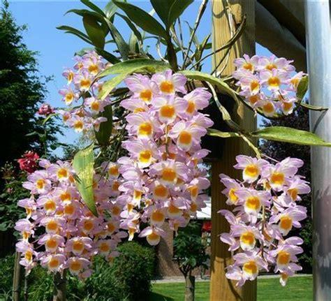 orchidea come farla fiorire orchidofilia orchidea dendrobium nobile come farla