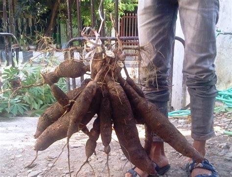 Bibit Cabe Puyang agrobisnisprobolinggo rahasia sukses
