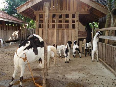 Bungkil Kedelai Jogja quot artikel kambing etawa quot budidaya kambing etawa