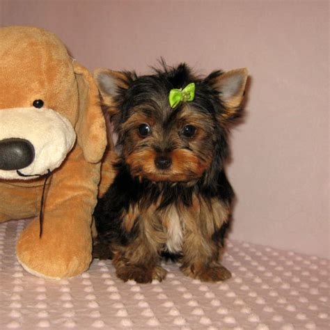 free yorkie puppies in az pets buckeye az free classified ads