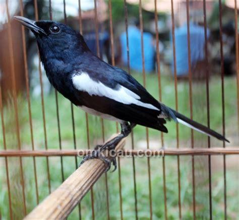 Limited Pangeran Kelas Barang Berkualitas 1 kacer black safir nyeri di taman radja klub burung