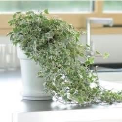 lierre le pot de 15 cm botanic