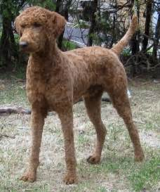 Pin brown standard poodle puppy cut on pinterest
