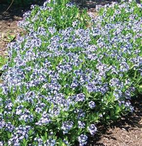 Flowers On The Mound - amsonia blue ice blue star horticulturehorticulture