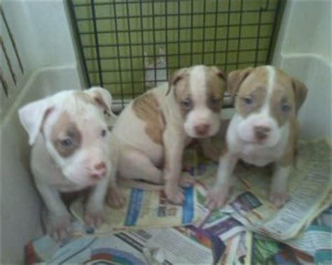 eli pitbull puppies for sale pin eli pitbull on