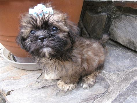 recommended food for shih tzu the name shih tzu means in and breeds picture