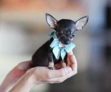 teacup chihuahua puppy 25 best ideas about teacup chihuahua puppies on teacup chihuahua teacup