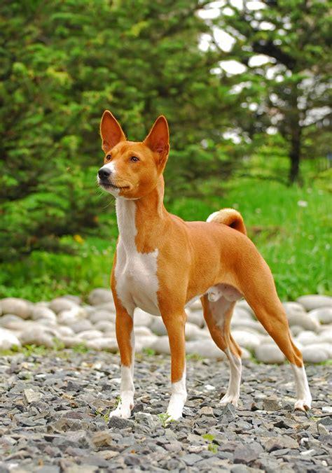 basenji puppy basenji breed information pet365