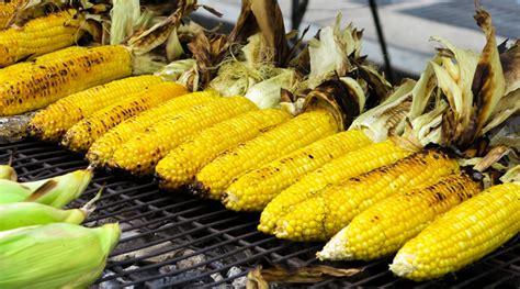 menanam jagung  sawah   benar