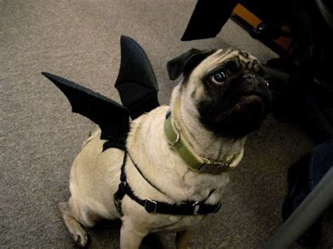 pug with wings even something as simple as bat wings looks adorable on a pug photo 5381129 72918