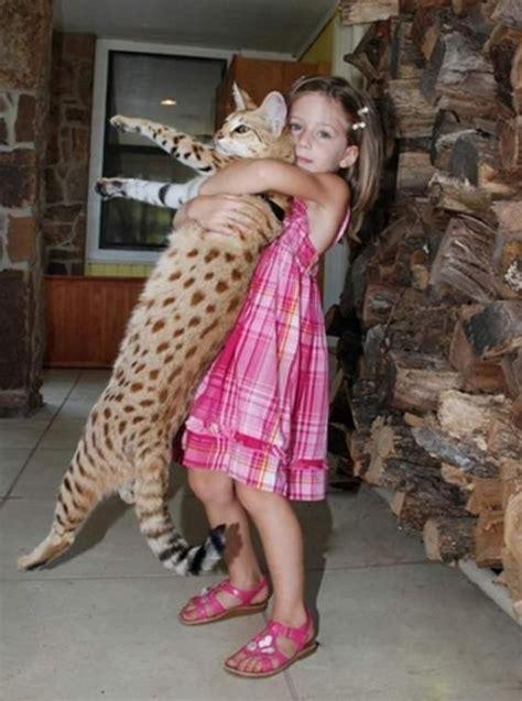 savannah house cat savannah cat breed giant house cat mamals reptiles birds creatures pinterest