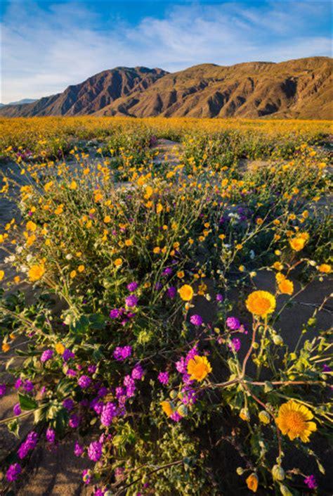 borrego super bloom anza borrego desert state park wildflower super bloom