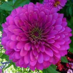 zinnia flower zinnia flowers