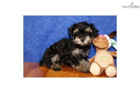 cost of yorkie poo yorkiepoo yorkie poo puppy for sale near atlanta d992028c 04a1