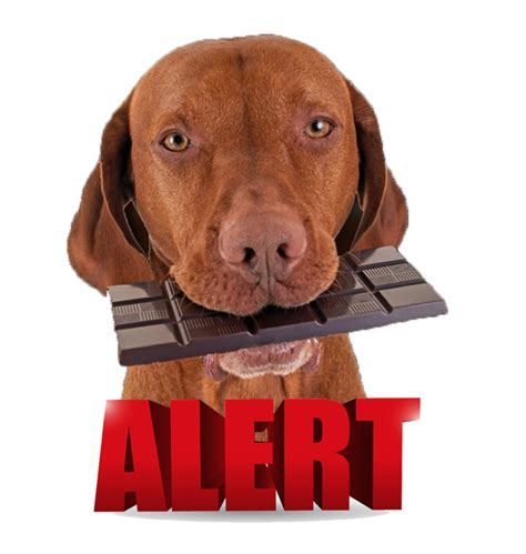 are dogs allergic to chocolate chocolate poisoning in dogs chocolate toxicity meter