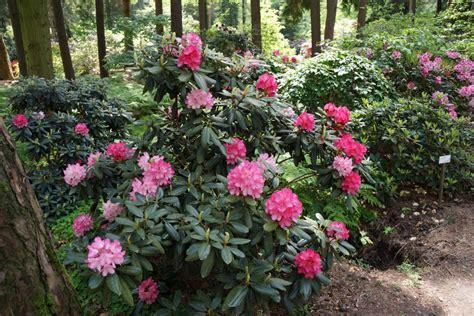 rhododendron wann schneiden wann rhododendron pflanzen wann darf ich rhododendron