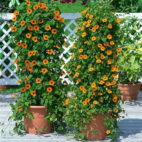 houseplant vine plants flowers 187 thunbergia alata
