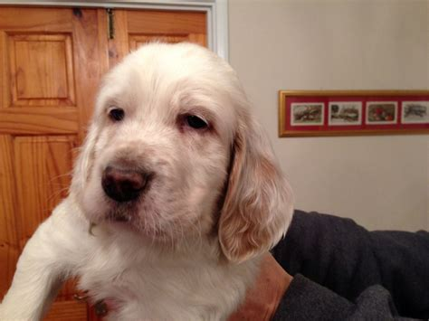 english setter started dogs for sale english setter puppy for sale sunbury on thames