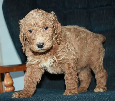 popular poodle names standard poodle names dogs our friends photo