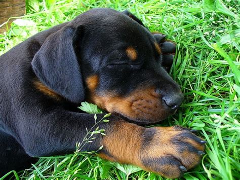 donerman puppies doberman puppy doberman